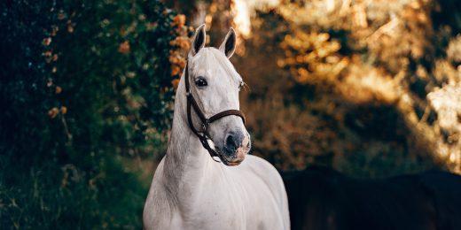 En vit häst i naturen.